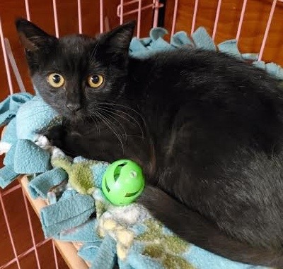 [picture of Trapeze, a Domestic Short Hair black\ cat]