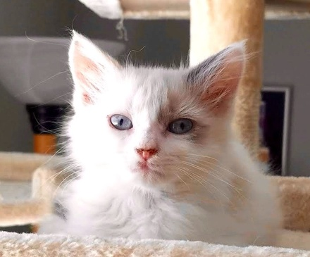 [picture of Doris, a Ragdoll Mix white/gray\ cat]