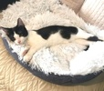 A picture of #AB00516: Daisy B a Domestic Short Hair black/white