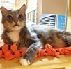 A picture of #AB00517: Walter a Domestic Long Hair gray/white