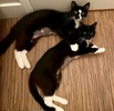 A picture of #AB00519: Louise a Domestic Short Hair blackwhite