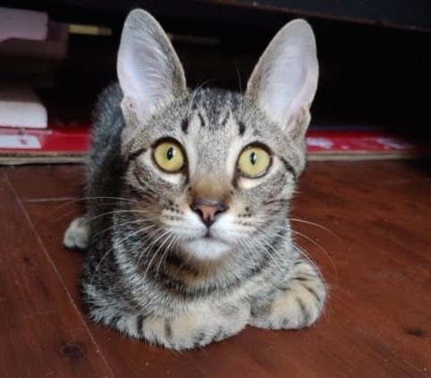 [picture of Benjamin, a Domestic Short Hair brown tabby\ cat]