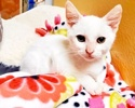 A picture of #AB00521: Pipsqueak a Domestic Short Hair white