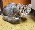 A picture of #AB00522: Trixie a Domestic Long Hair calico