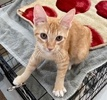 A picture of #AB00523: Tangerine a Domestic Short Hair orange