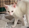 A picture of #AB00524: Monster a Turkish Van Mix white