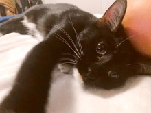 [another picture of Mitty, a Domestic Short Hair black/white\ cat]