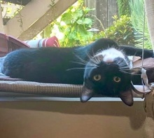 [picture of Mitty, a Domestic Short Hair black/white\ cat]
