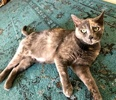 A picture of #AB00526: Penelepe B a Domestic Short Hair dilute tortie