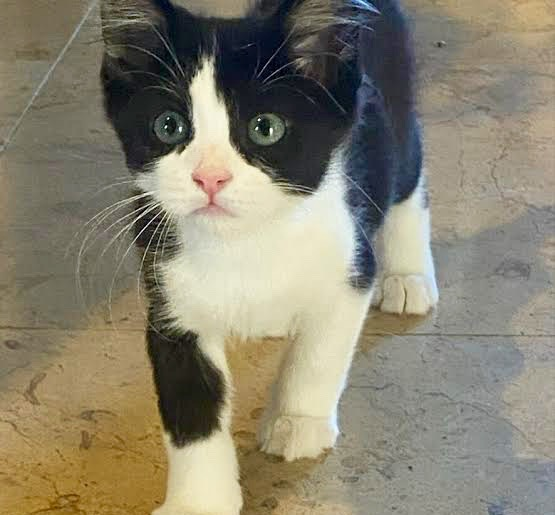 [picture of Baby Smalls, a Domestic Medium Hair black/white\ cat]
