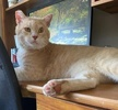 A picture of #AB00529: Nikola The Pirate a Domestic Short Hair buff