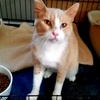 A picture of #AB00530: Goofball a Domestic Short Hair buff tabby/white