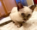 A picture of #AB00531: Freckles a Siamese tortiepoit