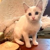 A picture of #AB00532: Poptart a Siamese lyxpoinnt
