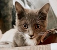 A picture of #AB00534: Cupcake a Domestic Short Hair blue/white