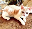 A picture of #AB00548: Reed a Domestic Short Hair orange/white