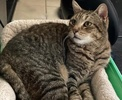 A picture of #AB00550: Don Julio a Domestic Short Hair brown tabby