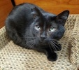 A picture of #AB00551: Zachary a Domestic Short Hair black
