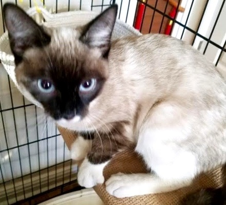 [picture of Lady, a Siamese seal point\ cat]