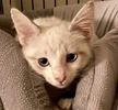 A picture of #AB00553: Yuki B a Siamese Mix lynxpoint