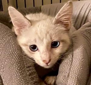 [picture of Yuki B, a Siamese Mix lynxpoint\ cat]