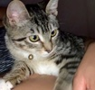 A picture of #AB00554: Aura a Domestic Short Hair brown tabby/white