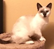 A picture of #AB00555: Hazel a Siamese Mix snowshoe