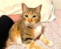A picture of #AB00556: Polly Pocket a Domestic Short Hair calico