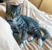 A picture of #AB00557: Sesame a Domestic Short Hair brown tabby/white
