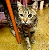 A picture of #AB00558: Tinsel a Domestic Short Hair brown tabby