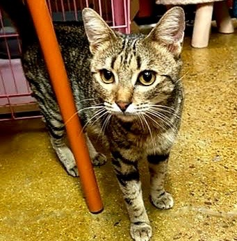 [picture of Tinsel, a Domestic Short Hair brown tabby\ cat]
