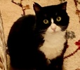 A picture of #AB00559: Mr Diego a Domestic Medium Hair black/white