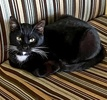 A picture of #AB00560: Mr Friendly a Domestic Short Hair black/white