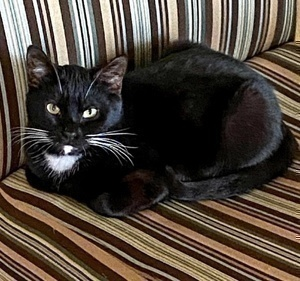 [picture of Mr Friendly, a Domestic Short Hair black/white\ cat]