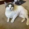 A picture of #AB00561: Rita B a Domestic Short Hair white/tabby