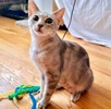 A picture of #AB00562: Geogia a Oriental Shorthair Mix silver