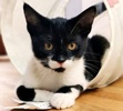 A picture of #AB00563: Bigote a Domestic Short Hair black/white