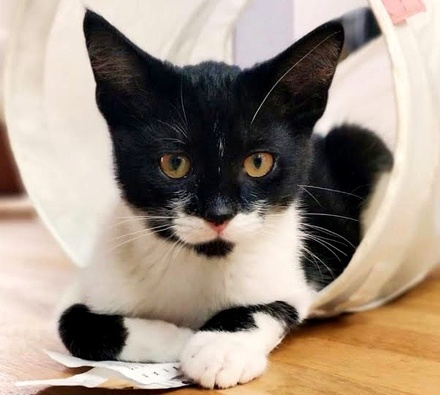 [picture of Bigote, a Domestic Short Hair black/white\ cat]