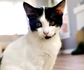 A picture of #AB00564: Fatastico a Domestic Short Hair black/white