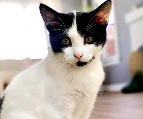 [picture of Fatastico, a Domestic Short Hair black/white\ cat]