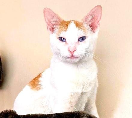 [picture of Cumin, a Domestic Short Hair white/orange\ cat]