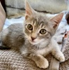 A picture of #AB00566: Peanut B a Domestic Short Hair silver