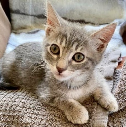 [picture of Peanut B, a Domestic Short Hair silver\ cat]