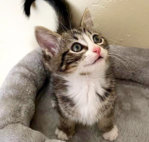 [picture of Peaches, a Domestic Medium Hair brown tabby/white\ cat]