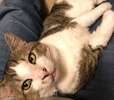 A picture of #AB00568: Stallone a Domestic Short Hair tabby//white