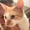 A picture of #AB00569: Tina a Domestic Short Hair orange//white