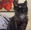 A picture of #AB00570: Luna Lolipop a Domestic Long Hair black