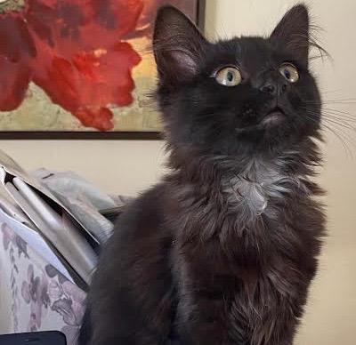 [picture of Luna Lolipop, a Domestic Long Hair black\ cat]