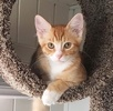 A picture of #AB00571: Canelo a Domestic Short Hair orange/white