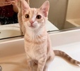 A picture of #AB00572: Sparrow a Domestic Short Hair orange